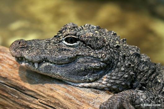 China-Alligator